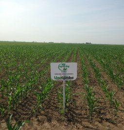 Efekti UniKombo paketa na korove u usevu kukuruza