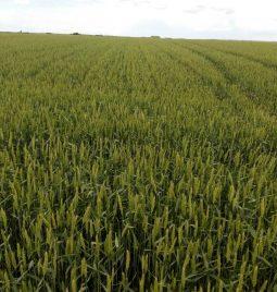 """Tretman pšenice preparatom """"Timpani"""" u Tobi"""