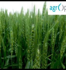 AgrOptim Zenith u usevu pšenice u Koviljskom ataru