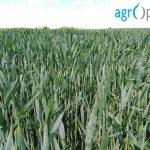 Usev pšenice tretiran