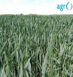 """Usev pšenice tretiran """"AgrOptim Zenith-om"""" u Šimanovcima"""