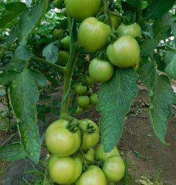 AgrOptim Zenith u plasteničkoj proizvodnji paradajza