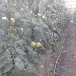 geO2 kao rešenje u plasteničkoj proizvodnji paradajza