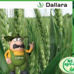 """NSAGRO-ING - ekskluzivni distributer semenske pšenice """"Dallara"""""""