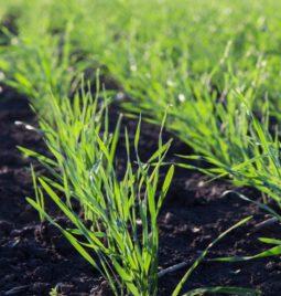 Prvi tretman u zaštiti pšenice