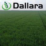 Stanje useva pšenice Dallara