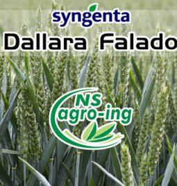 Stanje useva pšenice Dallara i Falado
