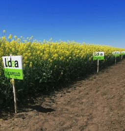 Dan polja uljane repice- Lidea